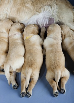 detail of female dog of golden retriever with puppies
